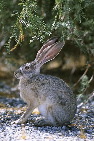 401px-side_view_close_up_of_rabbit_sitting_on_gravel_under_brush