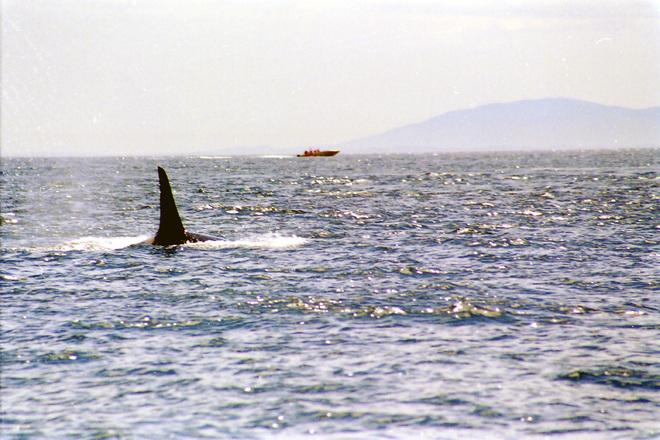 killer-whale-1466891