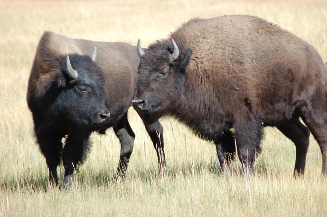 bison-1561043