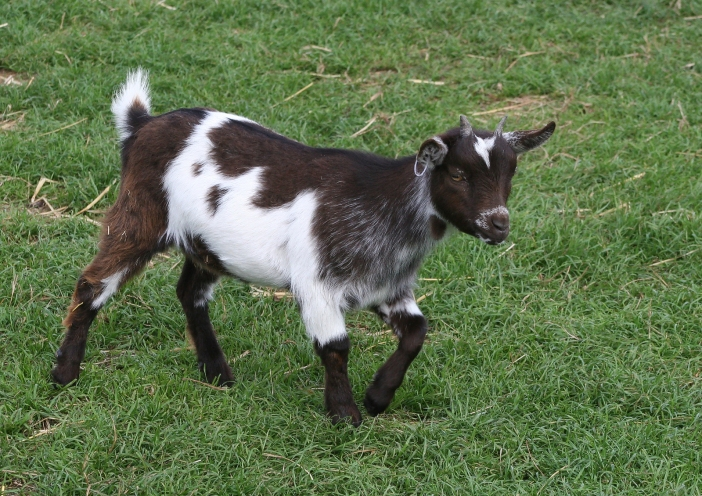 goat-1381942-1599x1130.jpg