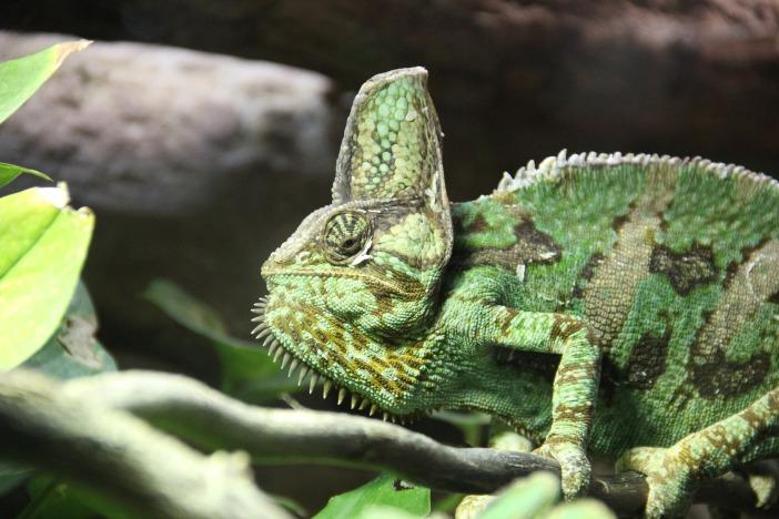 chameleon-2380368_1920.jpg